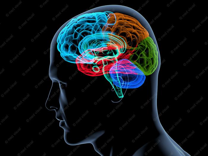 Gehirnareale 3D-Illustration