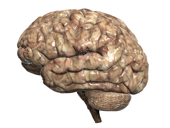 Gehirn medizinische 3D Grafik