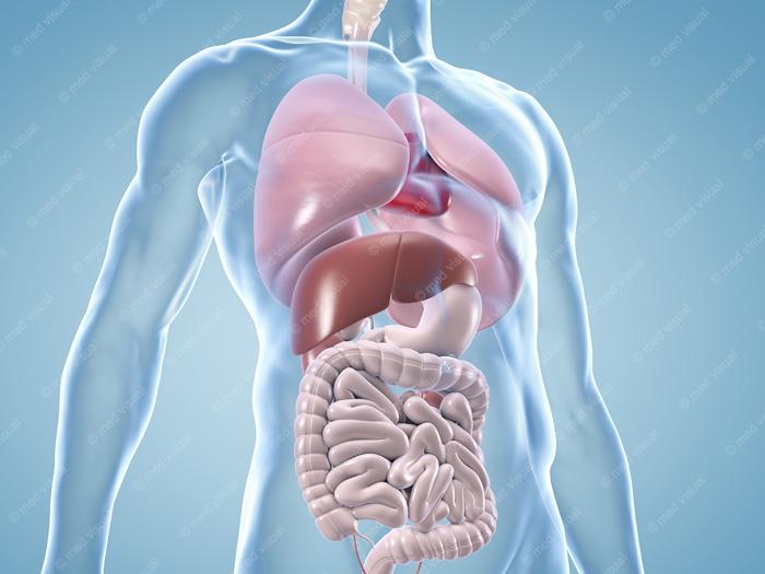Menschlicher Körper Mit übersicht Der Inneren Organe Anatomische 3d Illustrationen