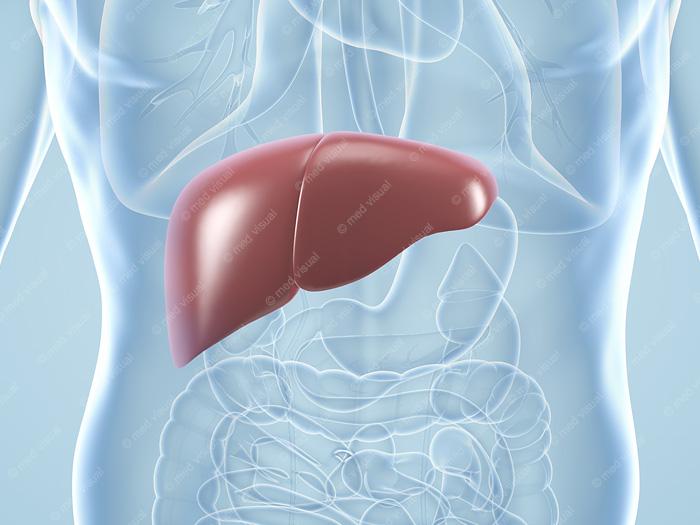 Leber und Verdauungsorgane: medizinische 3D-Grafiken und anatomische 3D-Illustrationen