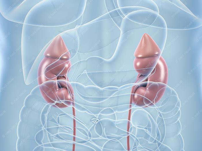 Nieren: medizinische 3D-Illustrationen und wissenschaftliche 3D-Visualisierungen