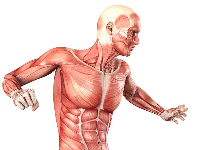 Menschlicher Körper mit Übersicht der inneren Organe: anatomische 3D ...