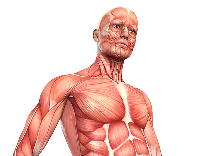 Muskelaufbau – menschlicher Körper und Muskulatur